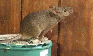 Sự xâm nhập của chuột
